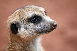 Photo of meerkat