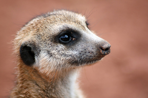 meerkatsmall